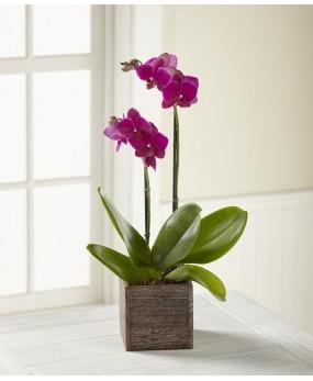 Orchidée Phaleonopsis