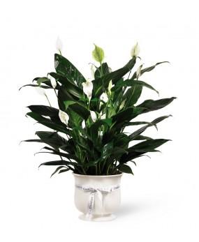 Spathiphyllum ou Lys de la...